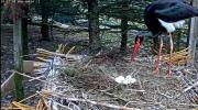 makov zwarte ooievaar 21 april 2021 5 eieren.PNG