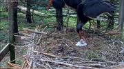 makov zwarte ooievaar 14 mei eerste ei open. 2.PNG