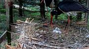 makov zwarte ooievaar 15 mei tweede ei open.PNG