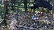 makov zwarte ooievaar 17 mei vierde ei open.PNG